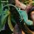 Хамелеон йеменский (шлемоносный), S, 1-2 месяца, самец