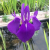 Ирис кэмпфери (темно-голубой)