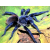 Паук-птицеед Pterinopelma sazimai, самец 3 см