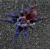 Паук-птицеед Pterinopelma sazimai L 4-5 линька (1 см)