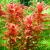 Ротала макрандра (Rotala macrandra) меристемное