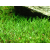 Лилеопсис бразильский (Lilaeopsis brasiliensis) меристемное