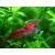 Креветка вишневая (Cherry shrimp)