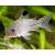 Сом коридорас Джули (Corydoras julii)
