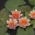 Нимфея Phoebus - оранжевый, мелкий сорт, корневище