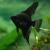 Скалярия чёрная  (Pterophyllum scalare)