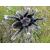 Паук-птицеед Br. albopilosum L1-3