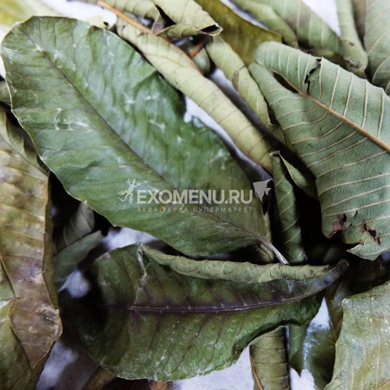 DECOTOP Guava XS - Листья гуавы, 10-15 см, 10 шт.