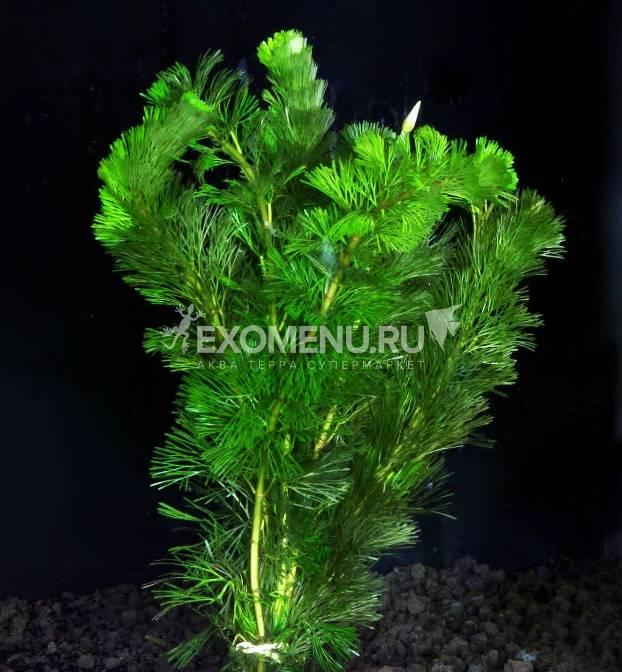 Кабомба каролинская зеленая (в горшке)