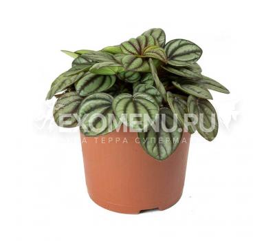 Пеперомия белополосая (Peperomia albovitatta