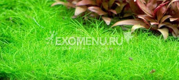 Элеохарис мини (Eleocharis sp.mini) меристемное фото