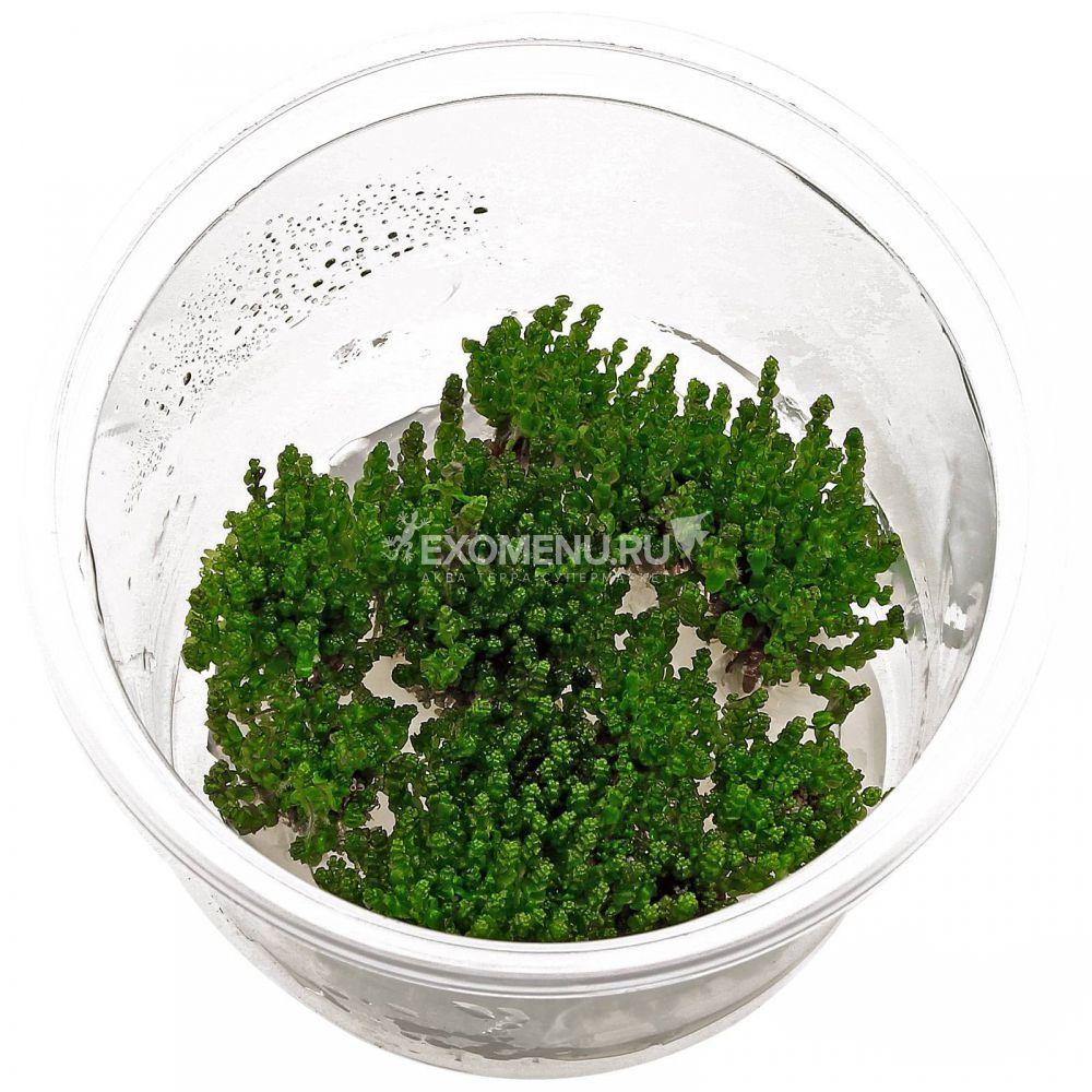 Ротала Перл (Rotala sp. Pearl) меристемное