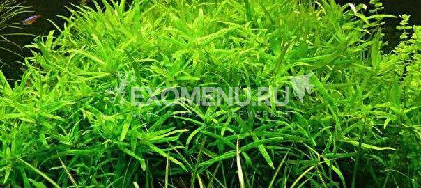 Гетерантера остролистная (Heterantcera zosterifolia) меристемное