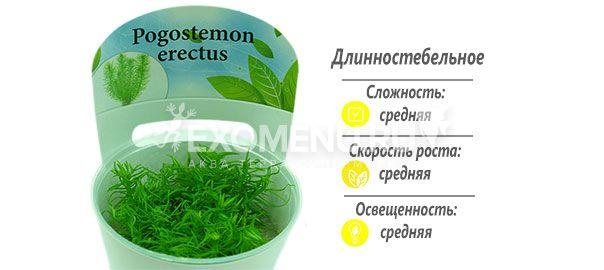 Погостемон Эректус (Pogostemon Erectus) меристемное