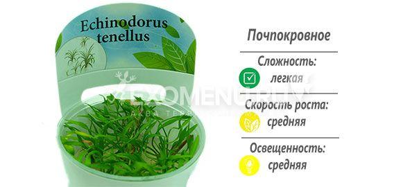 Эхинодорус тенелус (Echinodorus tenellus) меристемное