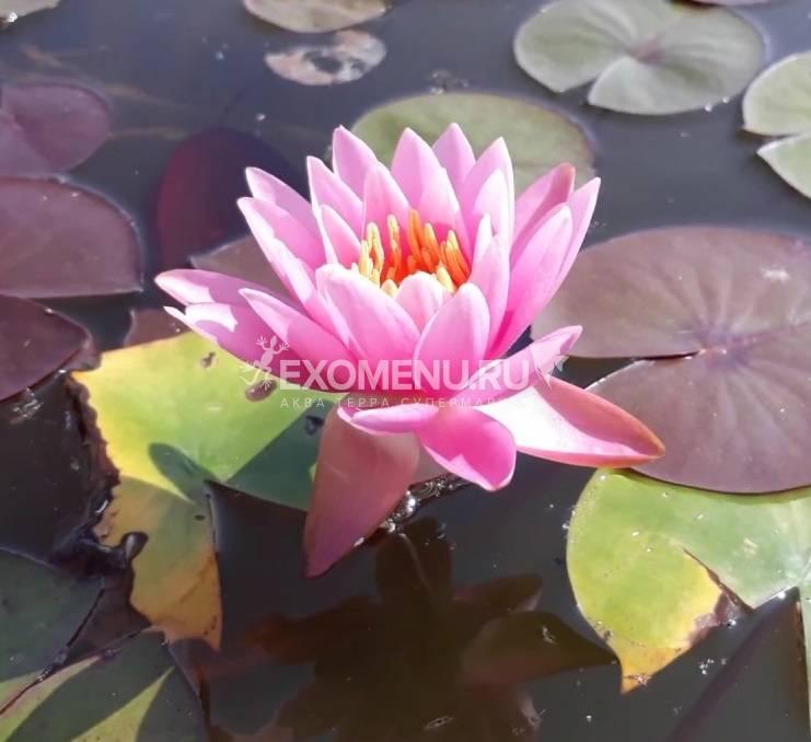 Нимфея Firecrest- розовая, мелкий сорт, корневище