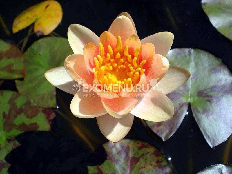 Нимфея Aurora - оранжевая, мелкий сорт, корневище