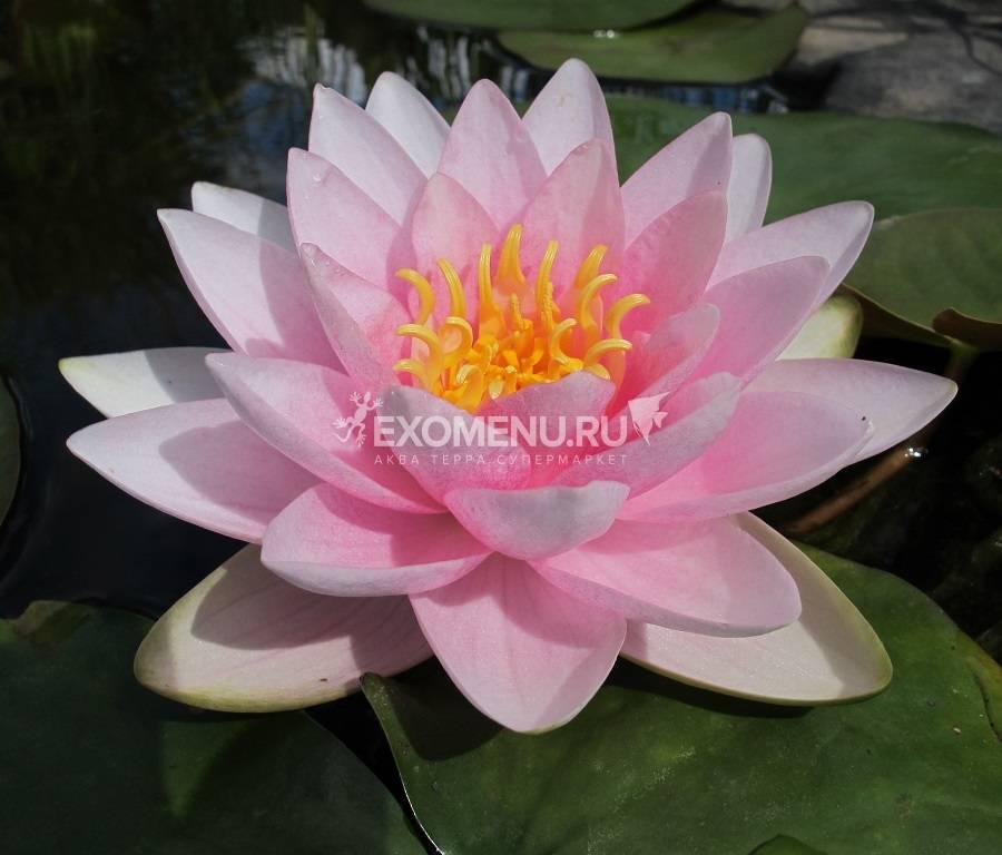 Нимфея Hollandia- розовая, крупный сорт, корневище