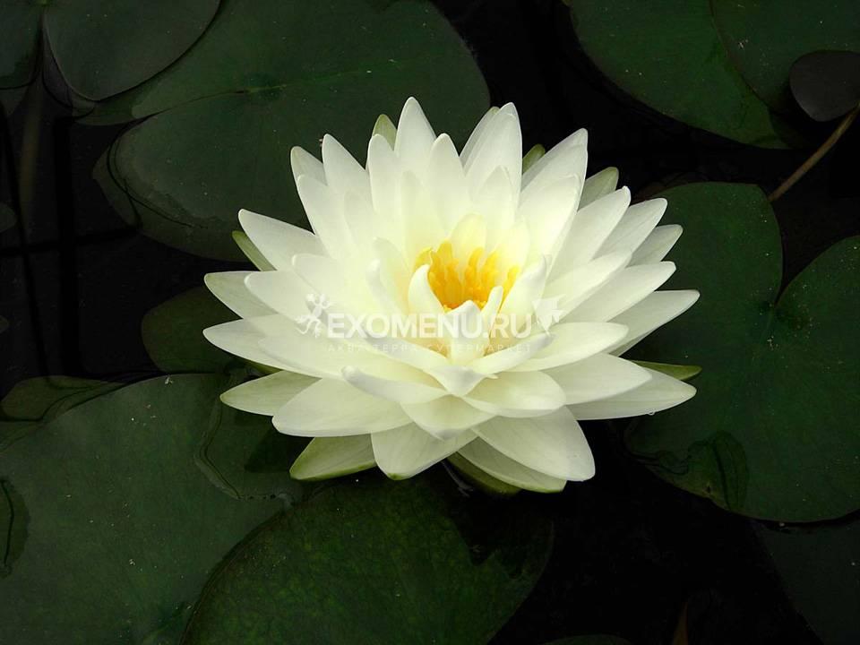 Нимфея Tuberosa Richardsonii - белый, крупный сорт, корневище