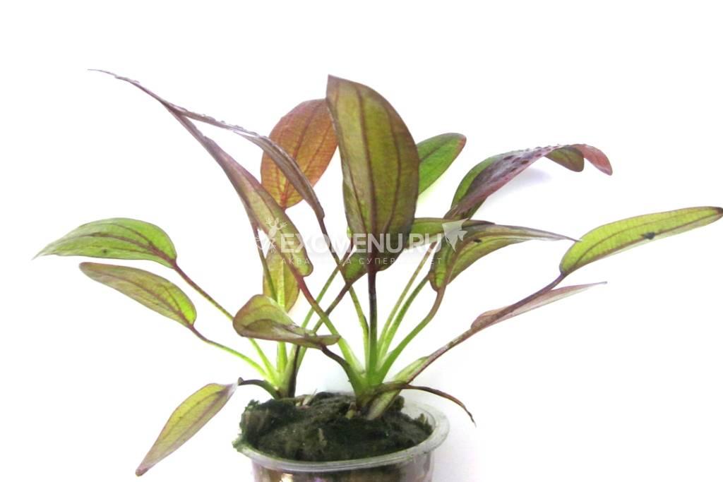 Эхинодорус Фантастический цвет (в горшке) фото