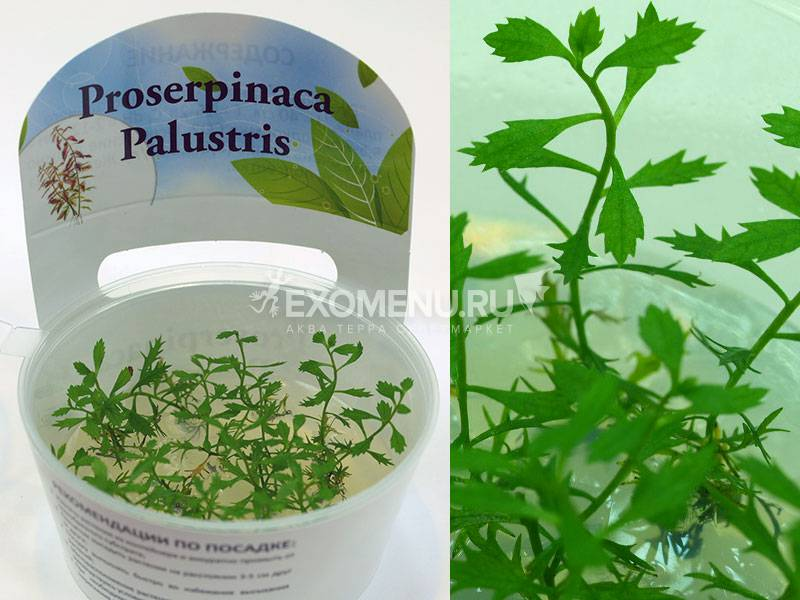 Прозерпинака полюстрис (Proserpinaca Palustris) меристемная