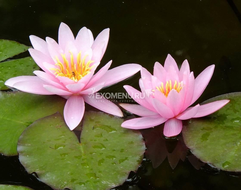 Нимфея Marliacea Rosea- розовая, крупный сорт,корневище
