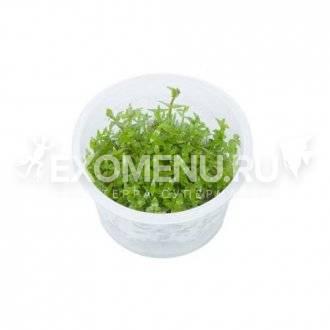 Гратиола Висцидула (Gratiola viscidula) меристемное