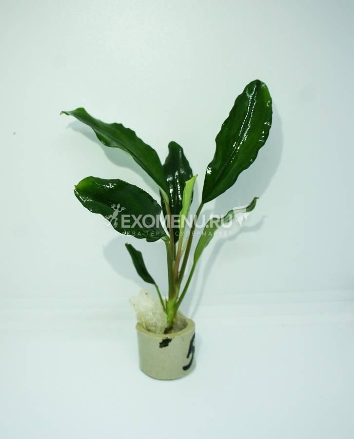 Буцефаландра зеленая широкий лист, шт. фото
