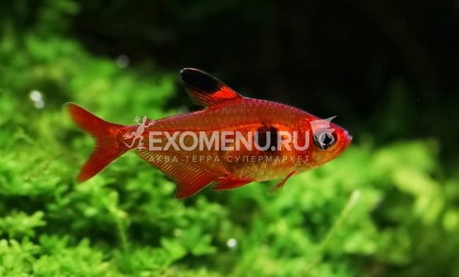 Фантом красный (лат. Hyphessobrycon sweglesi) фото