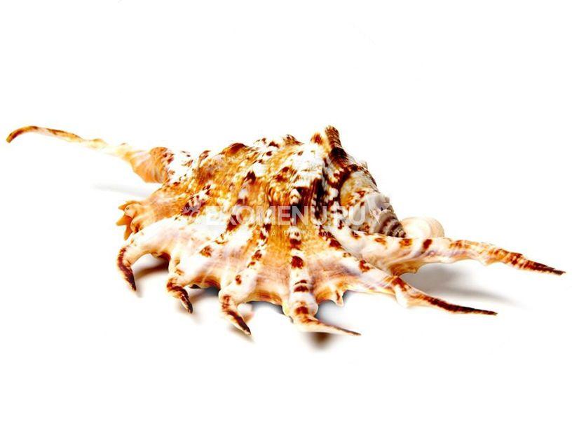 Морская раковина Ламбис Скорпио